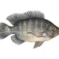 cá zô 88